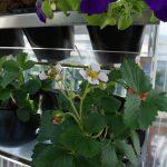 Erdbeeren // 01 // aeroponisches System