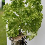 Salat // 02 // aeroponisches System