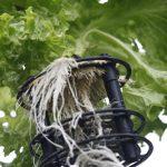 Salat // 07 // aeroponisches System