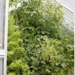 Salat // 10 // aeroponisches System