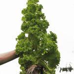 Salat // 12 // aeroponisches System