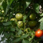Tomaten // 01 // aeroponisches System