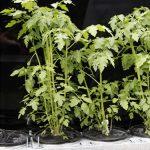 Tomaten // 20 // aeroponisches System