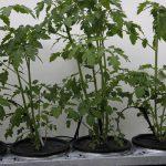 Tomaten // 22 // aeroponisches System